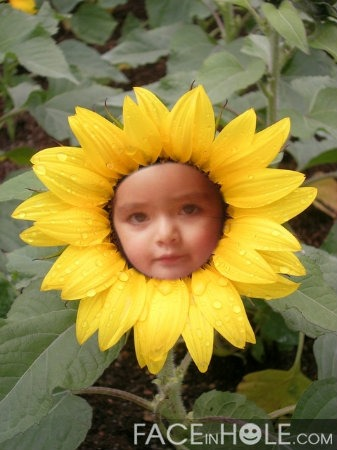 fotomontajes divertidos gratis en una flor de girasol